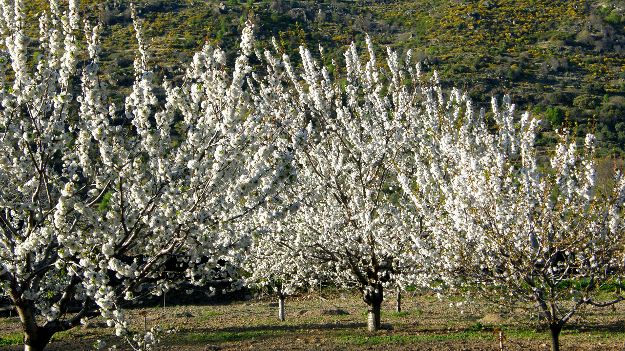Floración del Cerezo